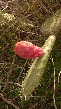 kaktus-sardinien