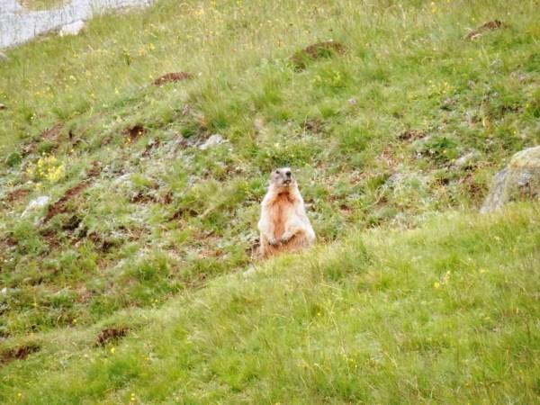 Marmotte (murmeldyr) på bjerget.